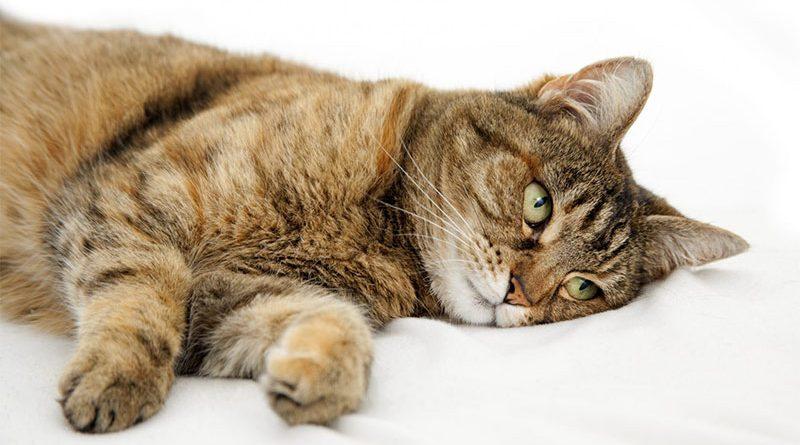 Геморрагический цистит у кошек и котов