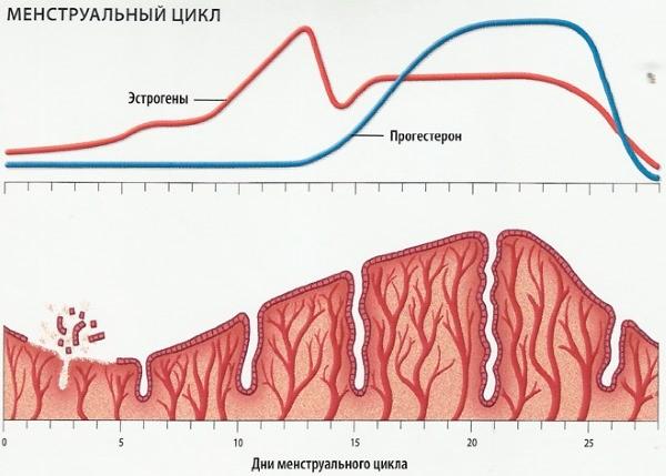 Какая нормальная должна быть толщина эндометрия перед месячными