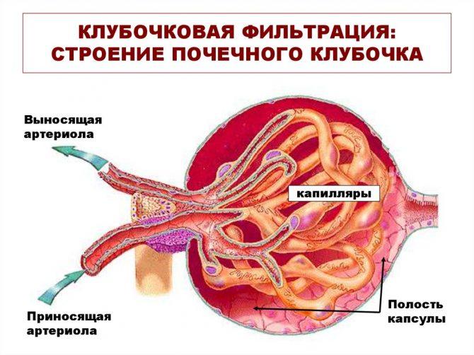 Нефротический и нефритический синдром: определение состояний, в чем их разница, методы дифференциальной диагностики